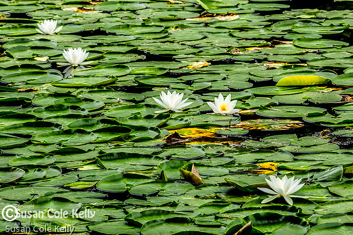 Fragrant White Water Lilies in the Middlesex Fells Reservation