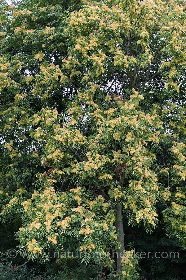 Götterbaum, Frucht, Früchte, Chinesischer Götterbaum, Ailanthus altissima, Ailanthus glandulosa, tree of heaven, fruit, ailanthus, chouchun, L'Ailante glanduleux, Ailante, Faux vernis du Japon, Vernis de Chine