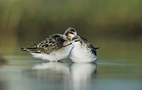 Wilson's Phalarope, Phalaropus tricolor,males, Welder Wildlife Refuge, Sinton, Texas, USA, May 2005