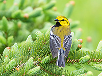 black-throated green warbler, Setophaga virens, male, perched in spring time evergreen branch, Nova Scotia, Canada