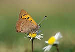 Small Copper Butterfly, Lycaena phlaeus, resting on daisy flower, orange and brown wings with black spots.United Kingdom....