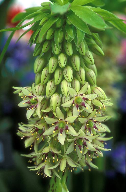 Eucomis Bicolor Plant Amp Flower Stock Photography
