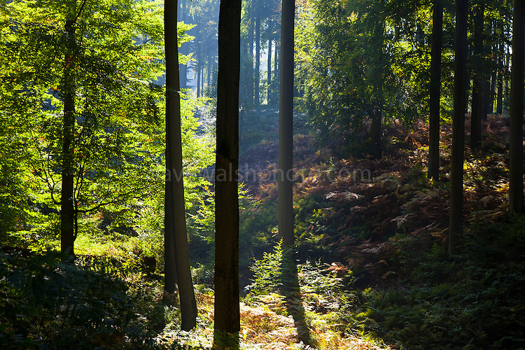 "Autumn in the Sonian Forest, Foret de Soignes, or Zoniënwoud, an 11,000 hectare woodland to the southeast of Brussels, providing a ""green lung"" for the polluted, traffic choked city. The forest is currently in three jurisdictions, Brussels, Flanders and Wallonia, but EU involvement in 2013 will see development of plans to re-unify the forest, for the benefit of humans and wildlife."
