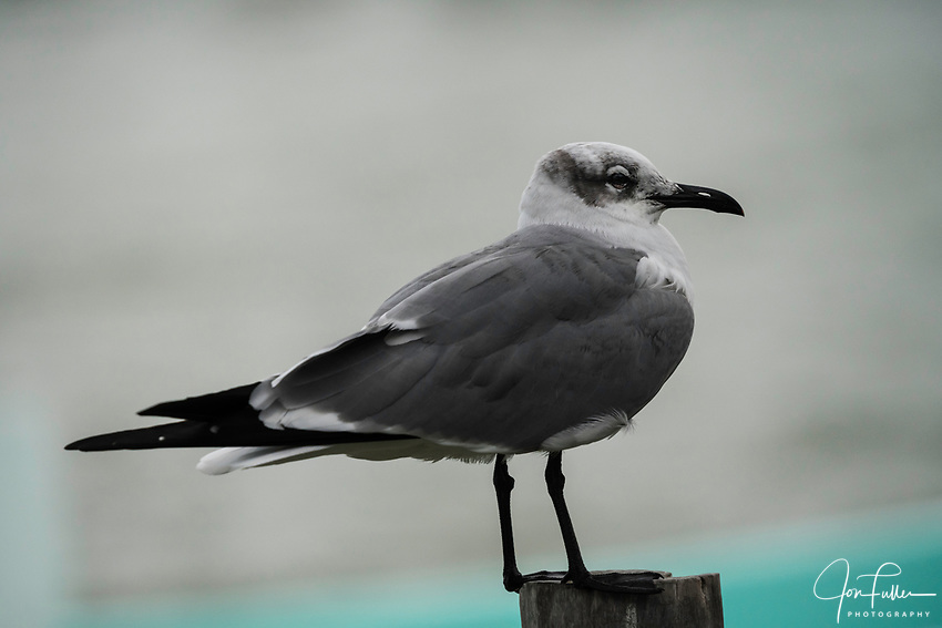 A Laughing Gull, Leucophaeus atricilla, in the Ria Lagartos Biosphere Reserve, a UNESCO World Biosphere Reserve in Yucatan, Mexico.