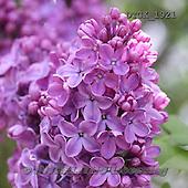 Gisela, FLOWERS, BLUMEN, FLORES, photos+++++,DTGK1921,#f#