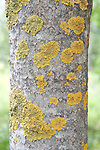 Lichen on Silver Birch Tree Trunk, Finland