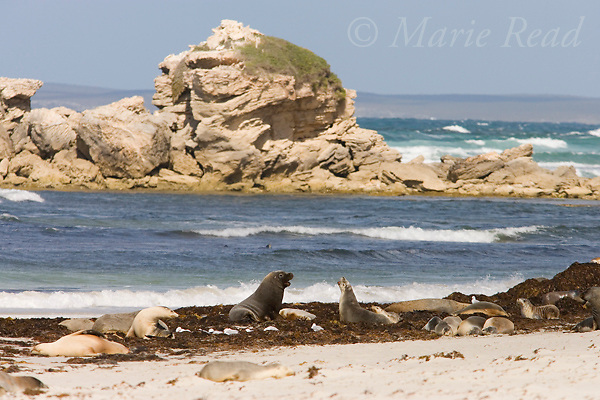 Australian Sea-lions (Neophoca cinerea), bull and several cows, Seal Bay, Kangaroo Island, Australia.
