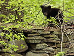 A bear cub walks along a stone wall along Rt. 202 in Granby on Tuesday, May 13, 2003.