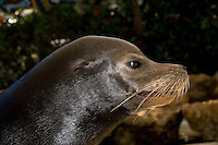 California Sea Lion, Zalophus californianus, male