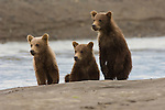 Three brown bear cubs sit on the beach watching their mother fish for spawning salmon in Lake Clark National Park, Alaska.