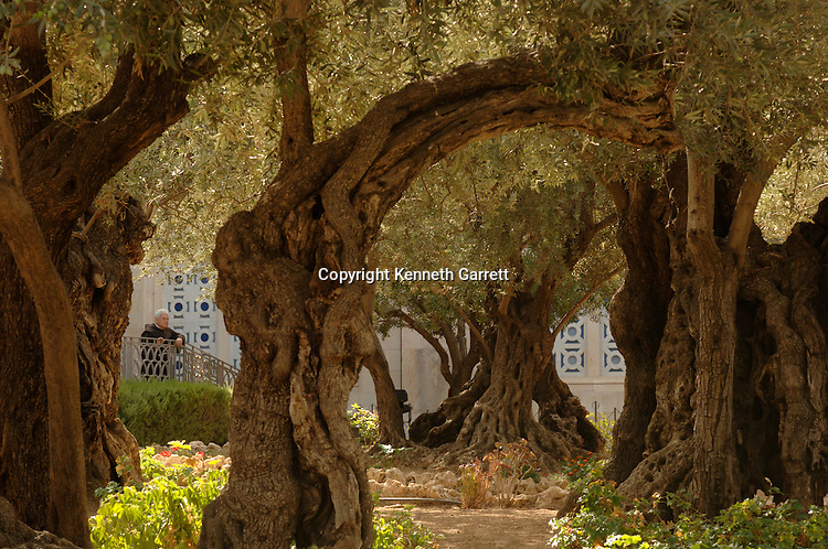 Trees in the Garden of Gethsemane where Jesus was said to have been betrayed by Judas, Jerusalem, Israel, Gospel of Judas; Codex Tchacos; Critical Edition, Gnostic text;Geneva