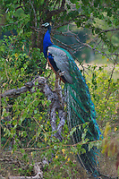 Peacock - Yala National Park, Sri Lanka