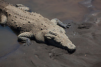 Up close of an American Crocodile in Costa Rica.