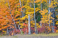 A forest edge show fall color at peak in The Clearing, Ellison Bay, Door County, Wisconsin