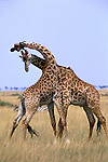 In Kenya's Maasai Mara National Reserve, two male giraffes engage in a thirty-minute sparring match, delivering solid thumps to one another with powerful necks and bony heads.