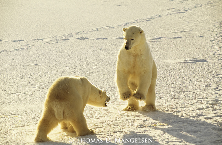 Polar bears play fight.