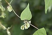 Copse-bindweed - Fallopia dumetorum