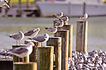 Seagulls On Pier