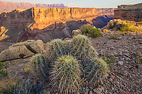 Barrel cactus on Grand Canyon rim, Grand Canyon National Park, Arizona Marble Canyon