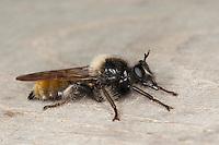 Gelbe Raubfliege, Gelbe Mordfliege, Weibchen, Laphria flava, Bee like Robber-fly, Bee-like Robber-fly, Bee like Robberfly, Raubfliegen, Asilidae, robberfly, robberflies, robber-fly, robber-flies
