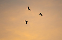 Greater White-fronted Geese, Anser albifrons, fly at sunset over Colusa National Wildlife Refuge, California