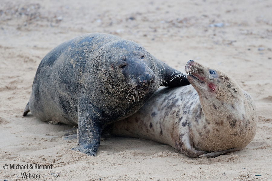 A pair of mating Grey Seals.