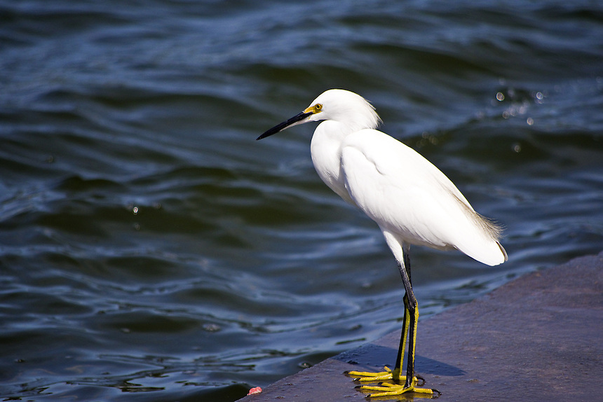 Snowy egret, Mirror Lake, Lakeland, Florida