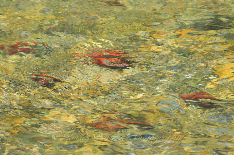 Kocanee Salmon spawn in the Tobacco River in Montana. The motion of the flowing water creating a surreal look at these colorful fish.