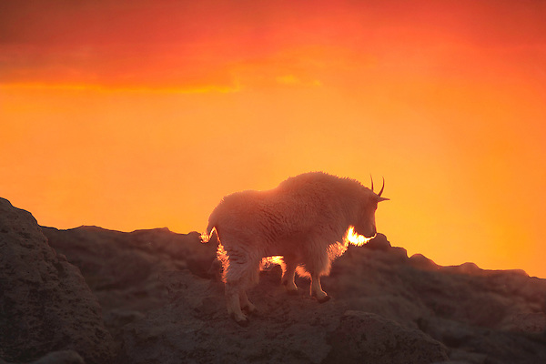 Mountain goat on Mt Evans at sunset, Colorado.