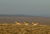 Pronghorn (Antilocapra americana) running across sage covered grasslands in the American west.  Late Fall..