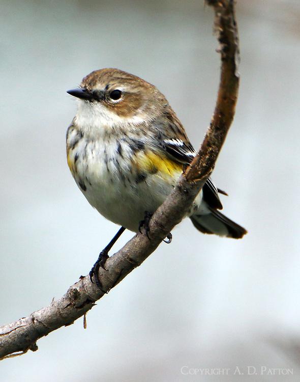 First-winter female yellow-rumped (myrtle) warbler