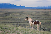 Wild Horse of the McCullough Peaks Range, Cody, WY