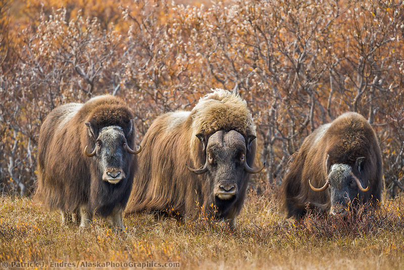 Three muskox on the tundra, Seward Peninsula, arctic Alaska.