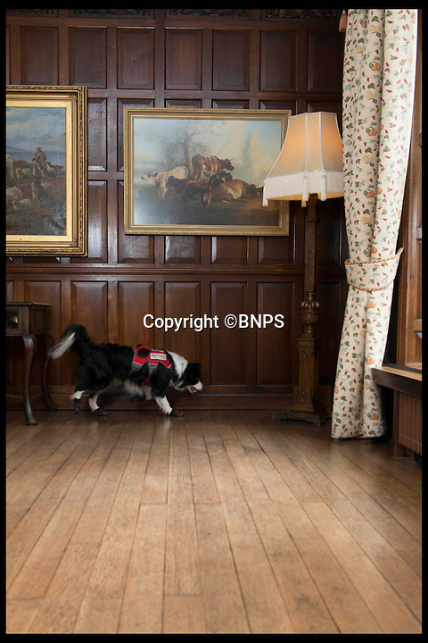 BNPS.co.uk (01202 558833)<br /> Pic: LauraDale/BNPS<br /> <br /> Meg who can sniff out dry rot.  At Bantock House Museum.<br /> <br /> New tricks for old dog breeds...<br /> <br /> Enterprising Mark Doggett has come up with a new business idea that's not to be sniffed at...A team of crack pooches that use thier noses to find dry rot in old houses.<br /> <br /> And he now has plans to train the cunning canines to hunt out bed bugs for hotel chains as well.<br /> <br /> Sniffer dogs have been trained to detect the destructive fungi early and in areas humans can't access, meaning they could save people thousands of pounds of expensive damage.<br /> <br /> There are even plans to train the dogs to detect bed bugs, which could prove a huge help to hotels, hospitals and boarding schools.<br /> <br /> Mark Doggett, 30, started his business Enviro-dogs last year and it is the only company in the country people can hire to check properties for dry rot.
