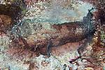 Sanopus barbatus, Bearded toadfish, Roatan