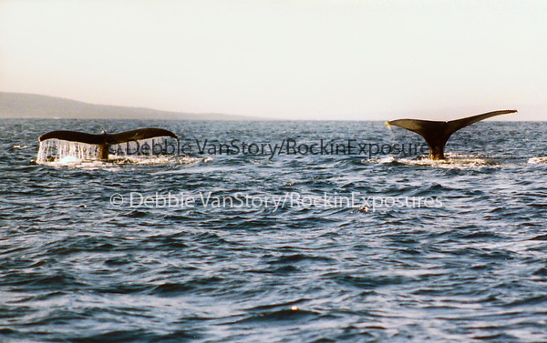 2 Humpback Whales swim off The Lanai coastline in the AuAu Channel on March 15,1996.© Debbie VanStory/RockinExposures.