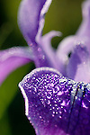 Morning dew drops on a wild Douglas Iris (Iris douglasiana), Point Reyes National Seashore, Marin County, California