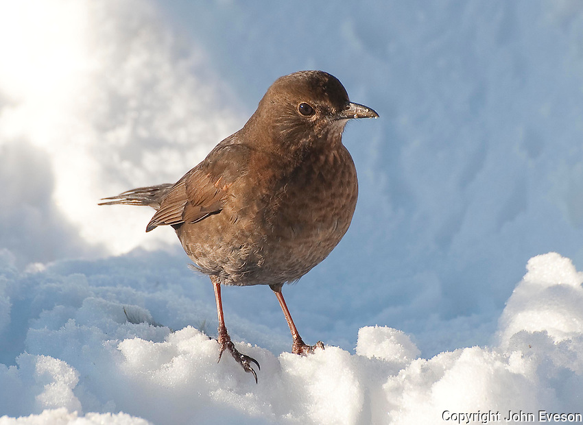 Female Blackbird (Turdus merula) in snow.