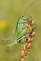 Wartbiter - Decticus verrucivorus
