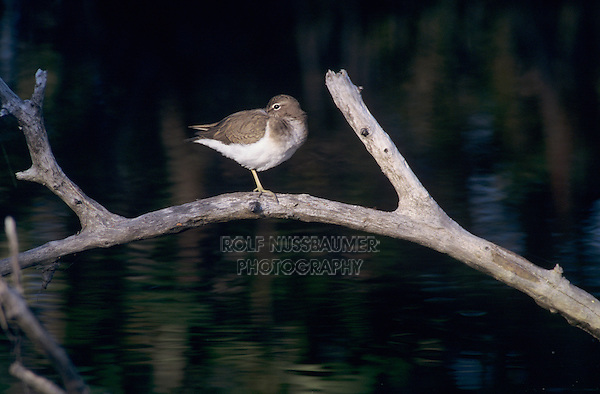 Spotted Sandpiper, Actitis macularia,adult winter plumage, Sanibel Island, Florida, USA, Dezember 1998
