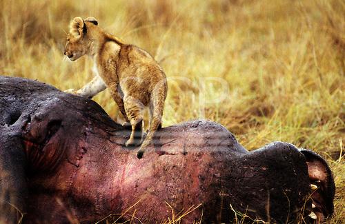 Maasai Mara Game Reserve, Kenya. Lion (Panthera leo) cub on top of a dead hippopotamus carcass.