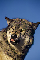 Gray wolf snarling.