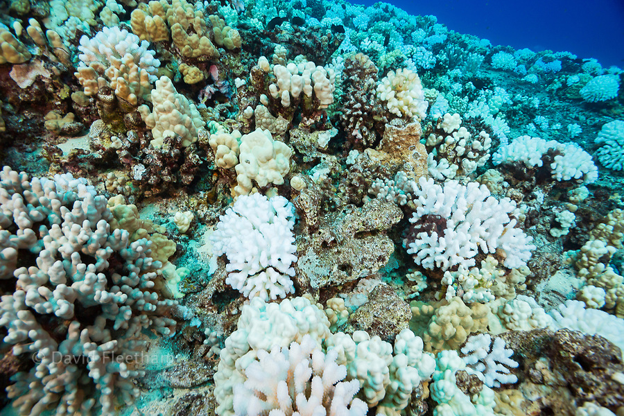 This image, shot in October 2015, shows coral bleaching on a Hawaiian reef. The colonies of cauliflower coral, Pocillopora meandrina, appears to be the most affected by the high water temperatures.  Hawaii.