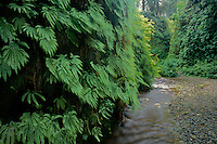 Five fingered ferns<br />