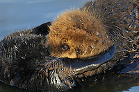 Young Sea Otter (Enhydra lutris) pup nursing while riding on mothers tummy.