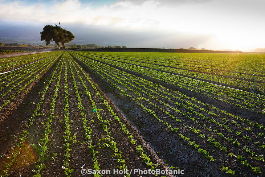 Rows of lettuce seedling in field in the rich soil of Salinas California