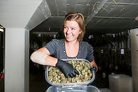 Good Meds Network Office Manager Paulina Miasik (cq) weighs and label marijuana at a  grow house in Denver, Colorado, Monday, July 21, 2014. <br /> <br /> Photo by Matt Nager