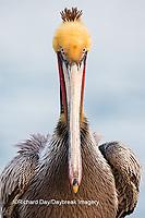 00672-00702 Brown Pelican (Pelecanus occidentalis), La Jolla cliffs, La Jolla, CA