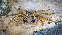 Shore crab (grapsus albolineatus) on rock, Gangehi Island, Ari Atoll, Indian Ocean, Maldives, Asia