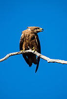 Black kite (Milvus migrans) is a medium-sized bird of prey in the family Accipitridae, which also includes many other diurnal raptors.